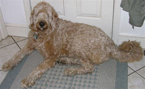 doodle puppy rescue about labradoodles about australian labradoodles south
