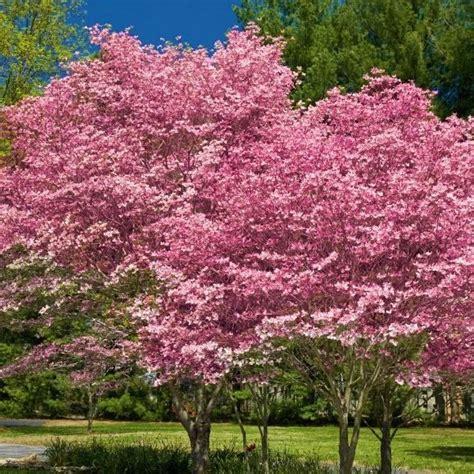 pink flowering dogwood buy at nature hills nursery