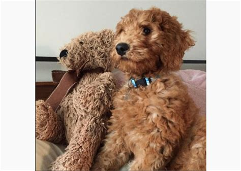 doodle doodle dogs the cutest doodle dogs on instagram