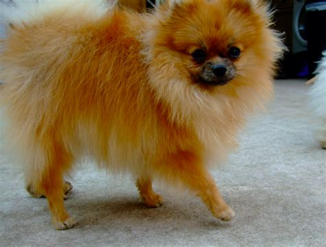pomeranian orange kc registered orange pomeranian chester le county durham pets4homes