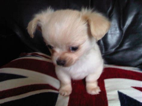 chihuahua puppies for sale in chicago chihuahua puppies for sale popular puppies for sale breeds picture