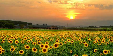 linguaggio dei fiori girasole il linguaggio dei fiori in 5 punti roba da donne