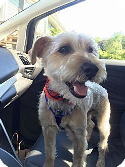 yorkie rescue ct 1000 ideas about terrier rescue on terrier rescue