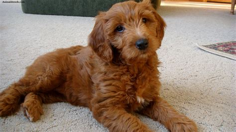 average lifespan of a goldendoodle goldendoodle puppies rescue pictures information