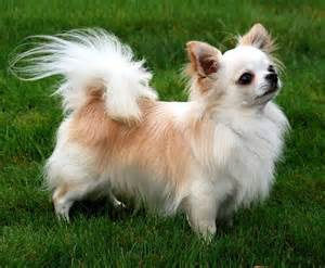 hair chihuahua hair growth what to expect cutest long haired chihuahua pictures