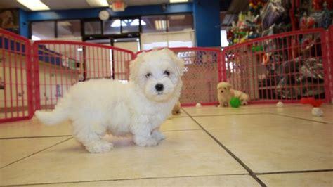 maltipoo puppies for sale ga beautiful maltipoo puppies for sale local breeders near atlanta ga at
