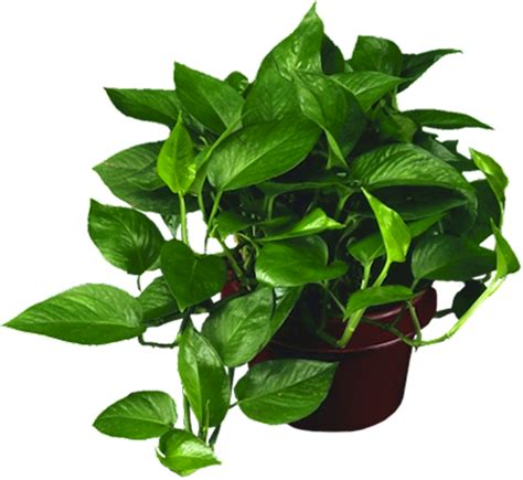 low light houseplants low light plants indoor plants house plants in boston