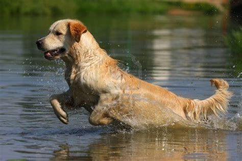 golden retrievers indiana dogmagazine it golden retriever in acqua