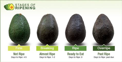 Alpukat Fuerte By Golden Effort buy the avocado every time