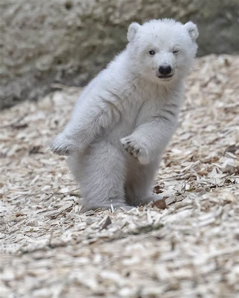 animal tracks this polar cub is the cutest thing you ll see today today
