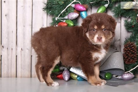australian shepherd puppies columbus ohio australian shepherd puppy for sale near columbus ohio 19ce522d 1c81