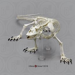 zoological skeletons bone clones  osteological reproductions