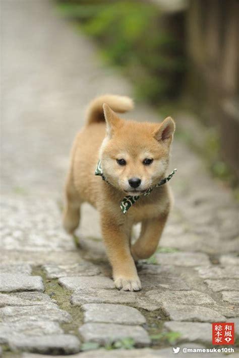 shiba inu puppies shiba inu puppy khaos stuff shiba