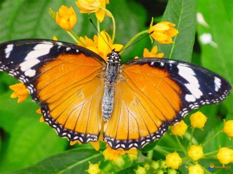 papillon pictures photo papillon exotique
