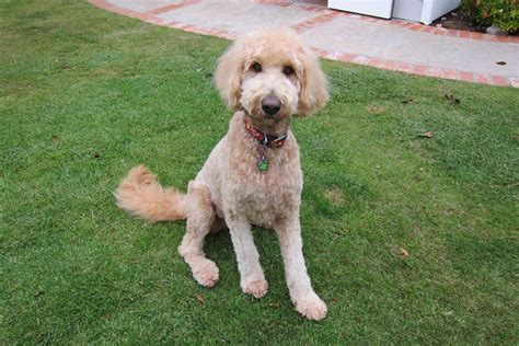 labradoodle hairstyles nice short cut labradoodle pinterest pup
