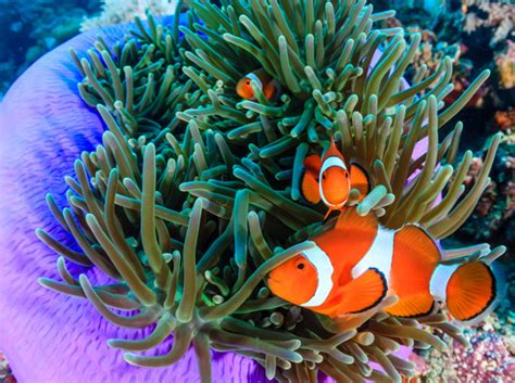 anemone eat clownfish diving with clownfish dive the world creature features