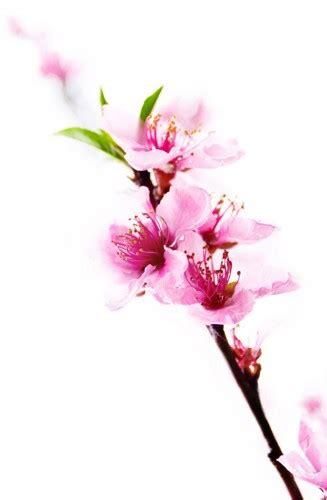 fiore di pesco significato come attivare l con feng shui fiesole