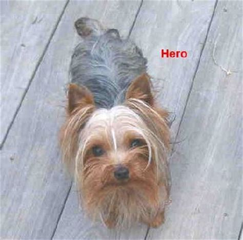 blumoon yorkies yorkie breeders in virginia picture breeds picture