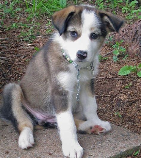 border collie husky mix puppy 1000 ideas about border collie husky mix on husky mix border collie mix
