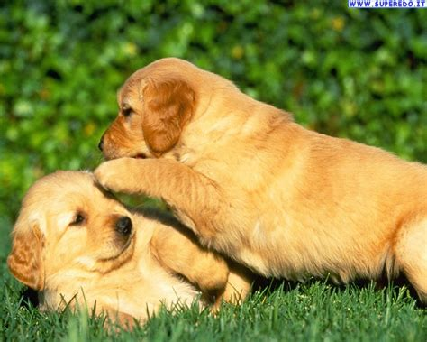 wallpaper golden retriever wallpaper golden retriever 24 wallpaper in alta definizione hd