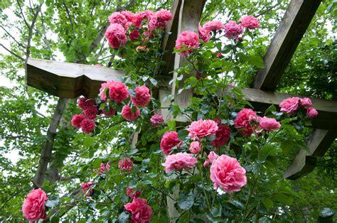 trellis roses how to a climbing to a trellis