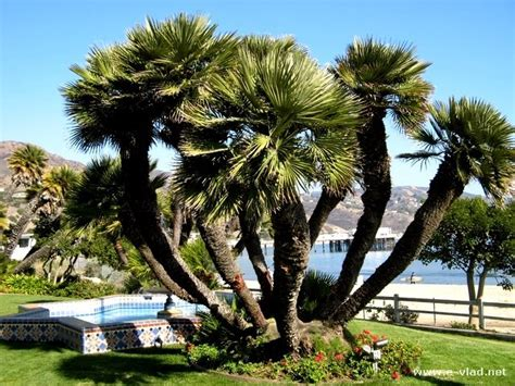 California Backyard Trees by Malibu California Beautiful Backyard With Palm Trees