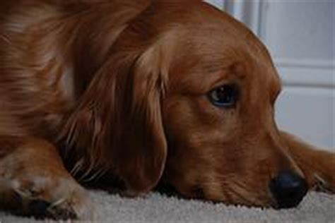 golden retriever ear infection golden retriever ear infection pictures dogs our friends photo
