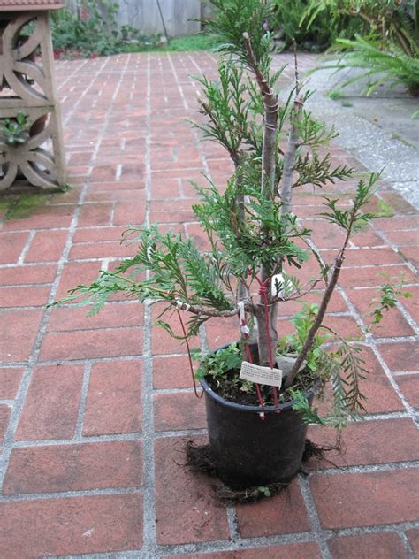 bonsai western redcedar