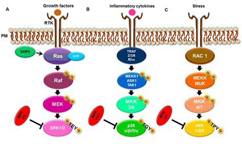 Frontiers   The Mitogen Activated Protein Kinase (MAPK