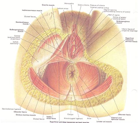 Pelvic Floor Muscles by Basic Anatomy General Movement 171 More Than Just Your Spine