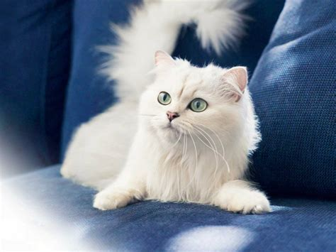 beautiful kittens cute white cats hd wallpapers beautiful pictures hd