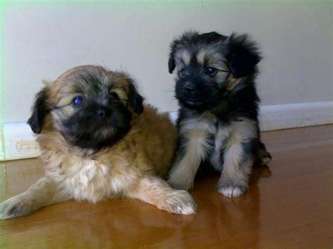 dog house for sale melbourne maltese x papillon puppies melbourne dogs for sale puppies for sale melbourne
