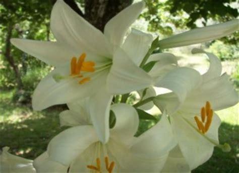 le lys de brooklyn cueillette au jardin le lys 100 plantes ma passion