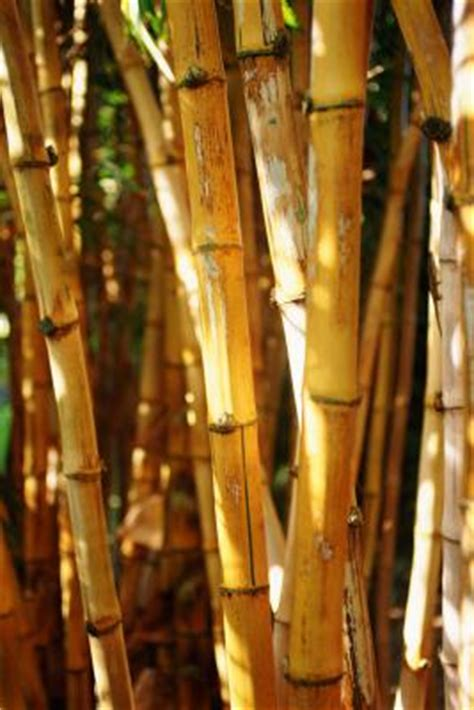 interieur sport el bomboro types of clumping bamboo for full sun areas home guides