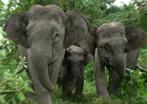 elephant biography in hindi borneo elephant