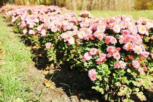 Chrysanthemen Vermehren by Gartentipps Tipps F 252 R Deinen Garten