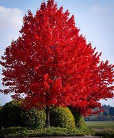 pin red maple large shade tree famous fall color