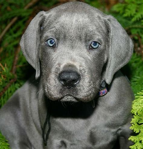 grey great dane puppy best 25 grey great dane ideas on great dane mix blue great danes and