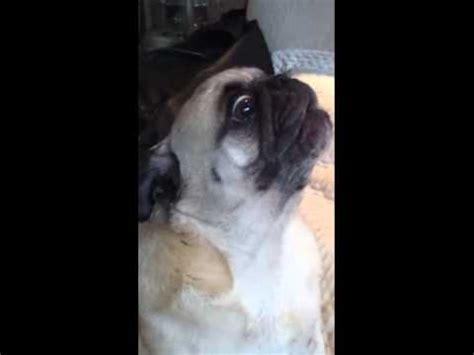 hello pug pug saying hello