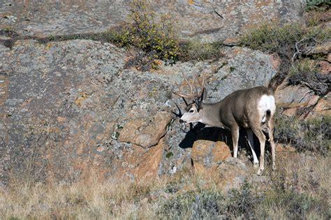 blacktail deer vs whitetail deer www pixshark