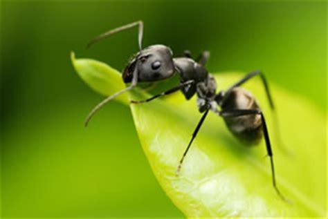 Hausmittel Gegen Ameisen Im Rasen 4016 by Ameisenbek 228 Mpfung In Haus Garten Und Rasen