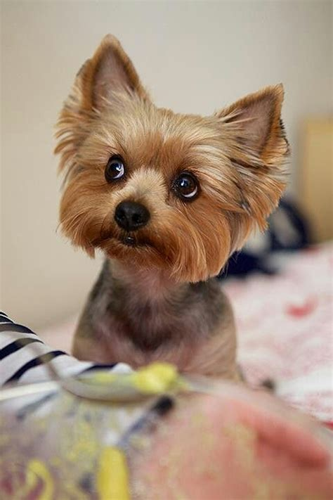 yorkie dog with lion haircut 720 best images about yorkies on pinterest