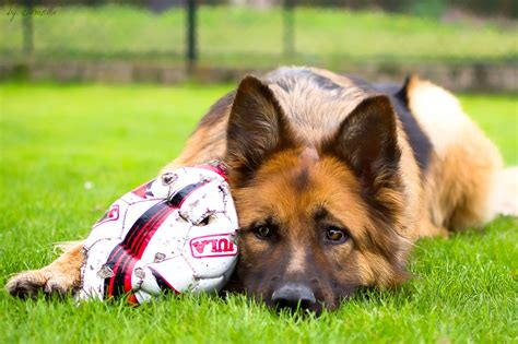 playful dogs 15 reasons why you should stay away from german shepherds