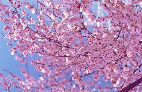 blooming pink cherry blossom pink color photo 34590845 fanpop