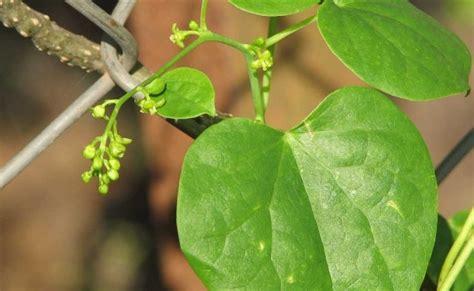 Obat Nature Stek manfaat hebat tanaman brotowali gaya hidup