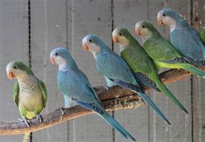 blue quaker parrots where do quaker parrots come from