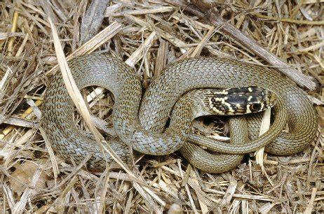 scarafaggio senza testa serpenti ma sono tutti pericolosi forum natura