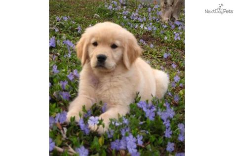 golden retriever temperament golden retriever puppy for sale near greensboro carolina 64474f1e 0431