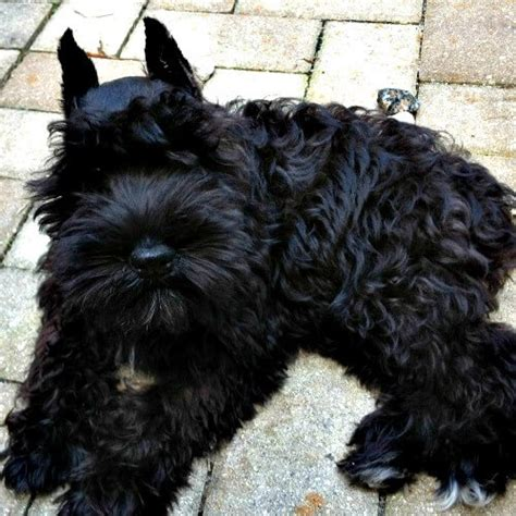 black miniature schnauzer puppies black miniature schnauzer puppies for sale reberstein s