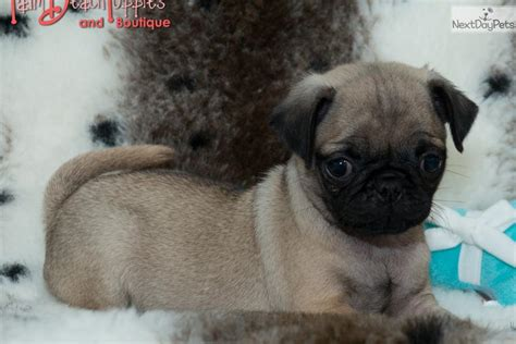 pugs for free pug puppies for free 17 background dogbreedswallpapers